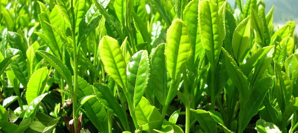 Das zweite von drei Sencha-Kultivaren: Yabukita