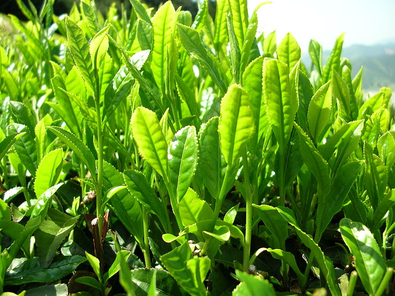 800px-Green_tea_leaves